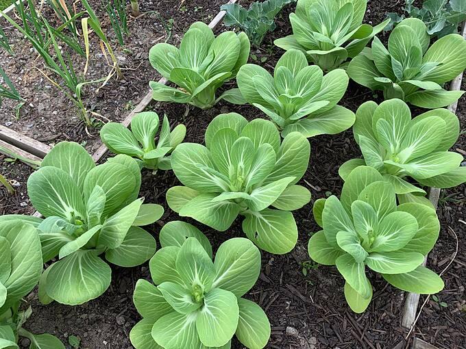 Dennis cũng đặc biệt chú ý tới khâu xử lý làm sạch đất, sử dụng phân bón hữu cơ tự ủ. Sau mỗi vụ mùa, anh đều giữ lại những hạt giống tốt cho đợt trồng tiếp theo.