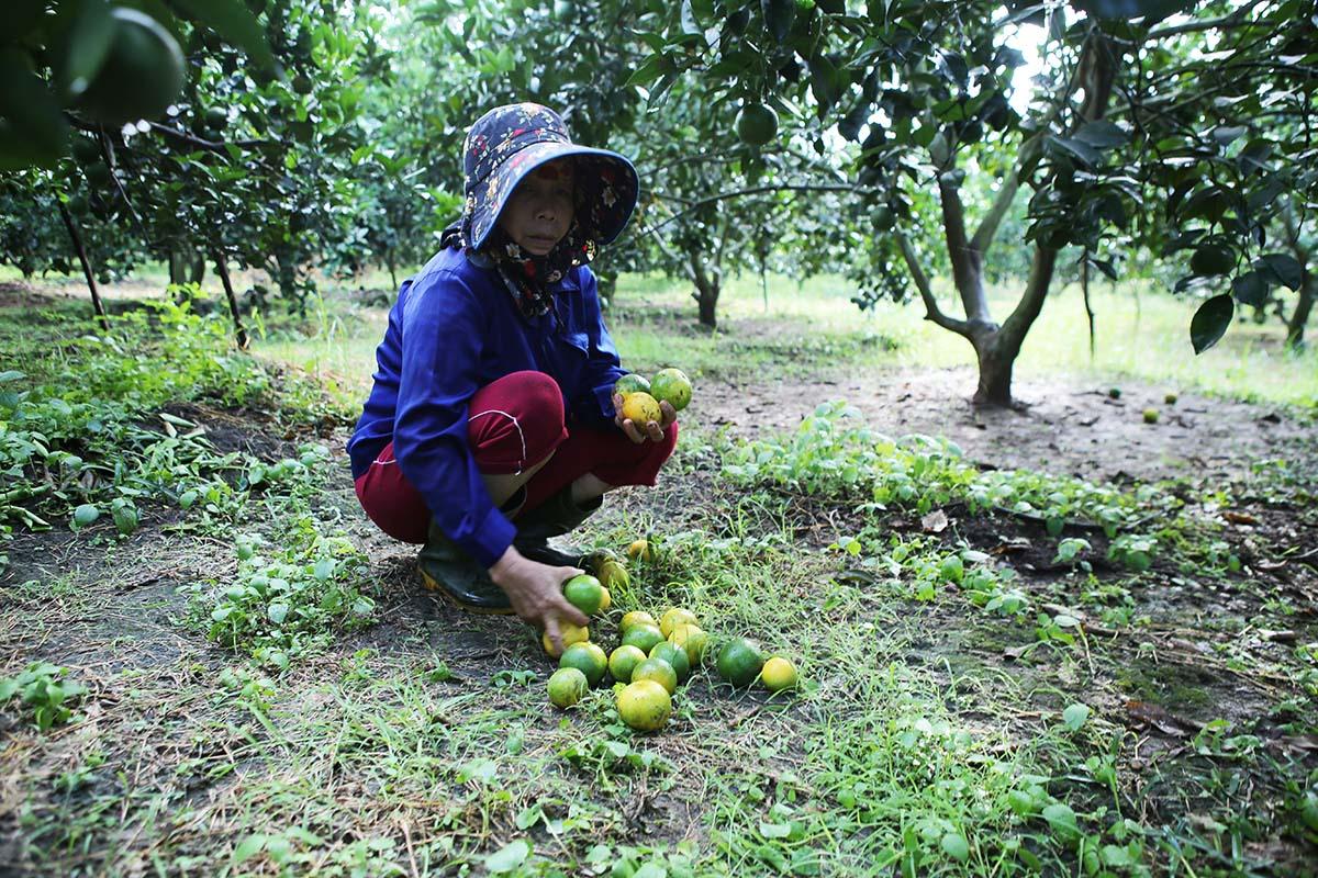 Nhiều hộ trồng cam thiệt hại vì cam rụng. Ảnh: Anh Thư.