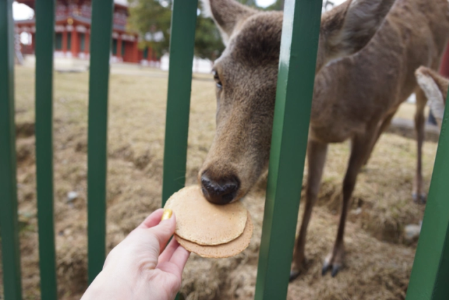 [Caption] Trong khi số lượng hươu ở Công viên Nara giảm, số lượng hươu ngồi trên bãi cỏ trong ngày đã tăng từ 19,3% lên 59,1%. Hươu, giống như bò, tiêu hóa chất dinh dưỡng thông qua một hệ thống gọi là nhai lại, đòi hỏi nhiều thời gian nghỉ ngơi, vì vậy sự gia tăng này là một dấu hiệu tốt vì nó cho thấy những con hươu này đang ăn nhiều cỏ hơn và quay trở lại chế độ ăn tự nhiên lành mạnh hơn.