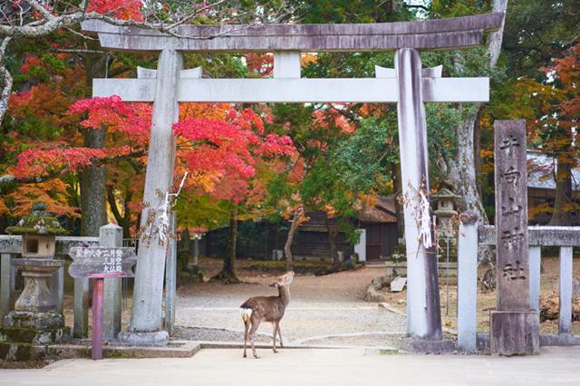 [Caption] Việc động vật thích tụ tập xung quanh khách du lịch để cho họ ăn bánh gạo đã được ghi nhận trong nhiều năm qua, nhưng giờ đây khi lượng khách du lịch phần lớn đã biến mất do các hạn chế đi lại được áp đặt trong đại dịch coronavirus, có vẻ như sự phụ thuộc của hươu vào senbei ngày càng nghiêm trọng hơn suy nghĩ đầu tiên.Theo một báo cáo tin tức gần đây, khoảng 13 triệu khách du lịch thường đến thăm Công viên Nara mỗi năm, và số lượng bánh gạo được bán hàng năm lên tới khoảng 20 triệu chiếc. Với khoảng 900 con hươu sống trong công viên, không bao gồm 400 con được nuôi trong khu trú ẩn của hươu Rokuen, điều này có nghĩa là mỗi con hươu thường ăn hơn 60 chiếc bánh gạo mỗi ngày.