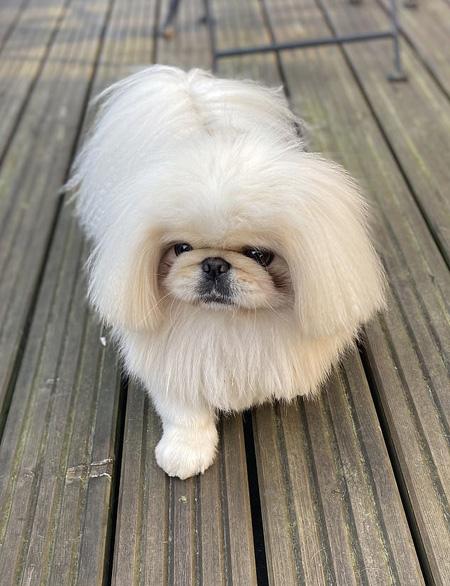 Chó Eric gây ấn tượng với bộ lông trắng gọn gàng, mềm mượt. Ảnh: Instagram.