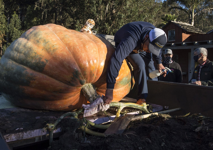 Travis Gienger of Anoka, Minn., polishes his pumpkin named Tiger King at the Championship Pumpkin Weigh-off in Half Moon Bay, Calif., on Monday. Photo by Terry Schmitt/UPI | License Photo