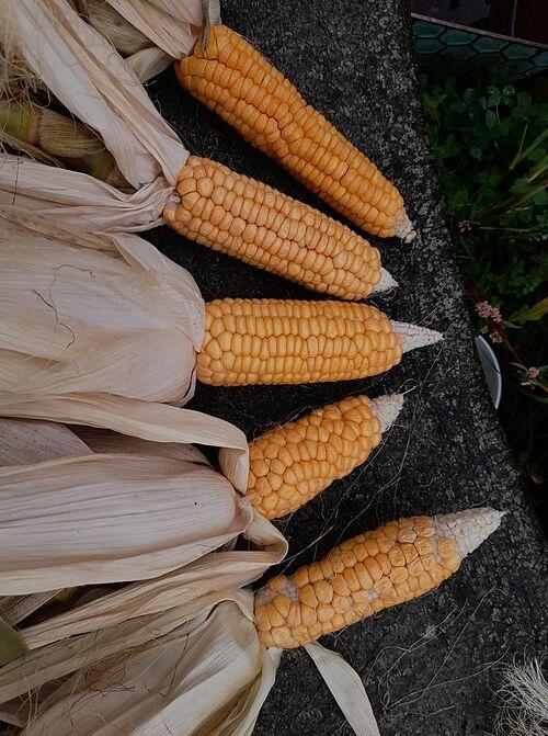 Mỗi đợt thu hoạch, Chloe đều bớt lại một phần hạt giống, đem phơi khô để dành cho mùa trồng trọt tiếp theo. Bằng cách này, cô vừa tiết kiệm được tiền mua hạt giống lại có được chất lượng hạt như ý.
