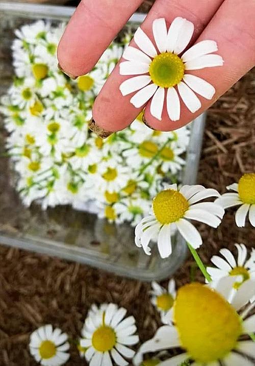 Cô gái trẻ trồng hoa cúc để làm trà. Hoa thu hoạch từ vườn sẽ được phơi khô tự nhiên trong khoảng 6 tuần. Sở thích của Chloe là ngồi nhâm nhi một tách trà hoa cục mỗi buổi tối.