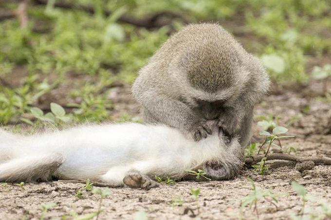 Con khỉ ghé sát miệng làm hành động hô hấp nhân tạo cho con khỉ cái đang nằm giữa đất. Ảnh: Solent News.