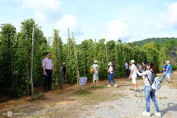 Du khách tham quan vườn tiêu tại Phú Quốc. Ảnh: Khánh Trần.