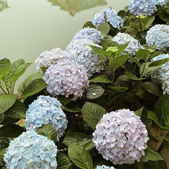 Tú Anh trồng rất nhiều hoa ở vườn nhà, trong đó có cẩm tú cầu phủ kín bờ sông.