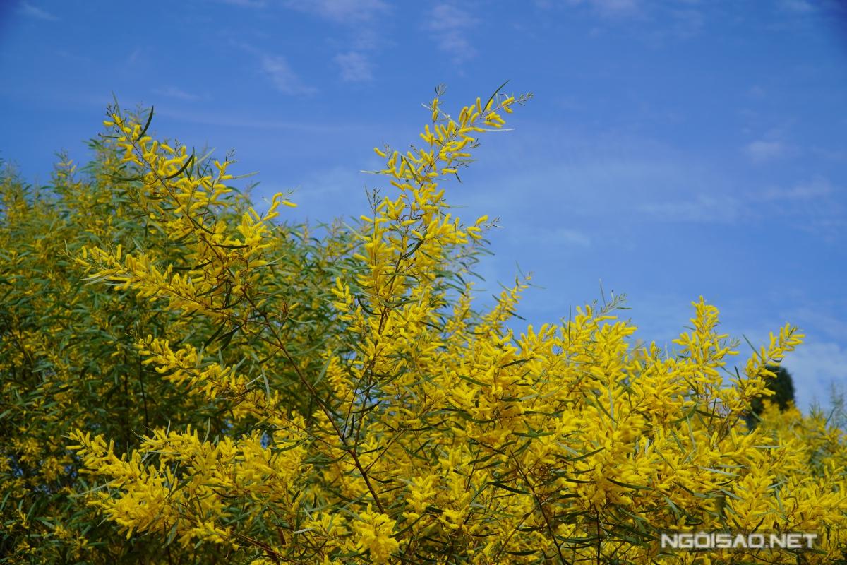 Địa chỉ cuối tuần: Mùa keo lá tràm Phan Thiết đẹp như tranh - 6