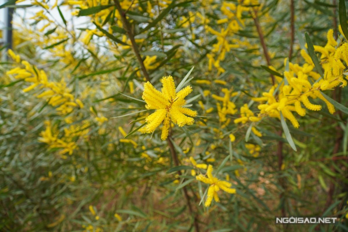 Địa chỉ cuối tuần: Mùa keo lá tràm Phan Thiết đẹp như tranh - 4