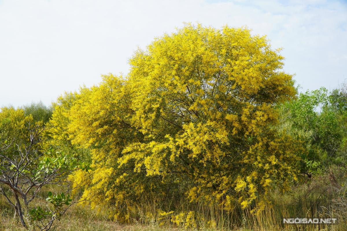 Địa chỉ cuối tuần: Mùa keo lá tràm Phan Thiết đẹp như tranh - 2
