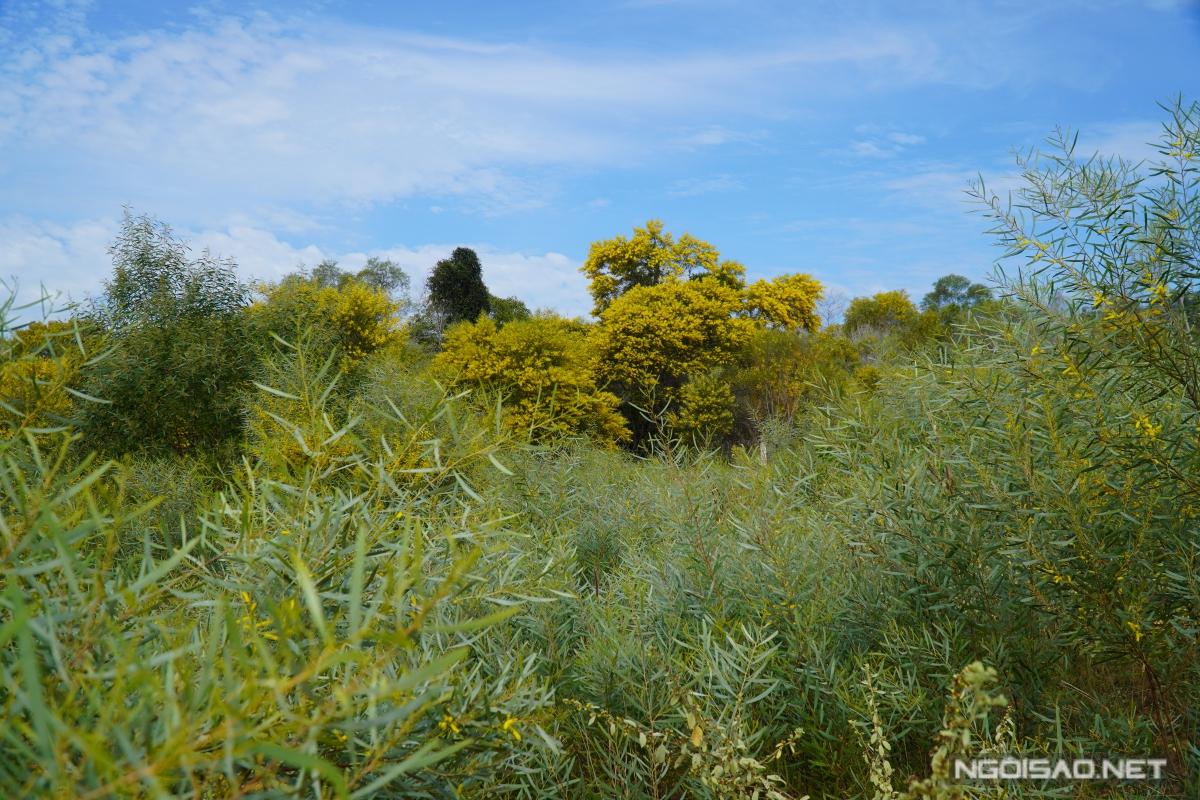 Địa chỉ cuối tuần: Mùa keo lá tràm Phan Thiết đẹp như tranh - 8