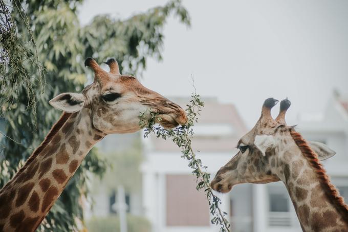 Không cần phải đi safari xa xôi và đắt đỏ, ngay tại TP HCM, bạn cũng có thể chiêm ngưỡng những chú hươu cao cổ bằng xương bằng thịt hiền lành với bộ lông ấn tượng.