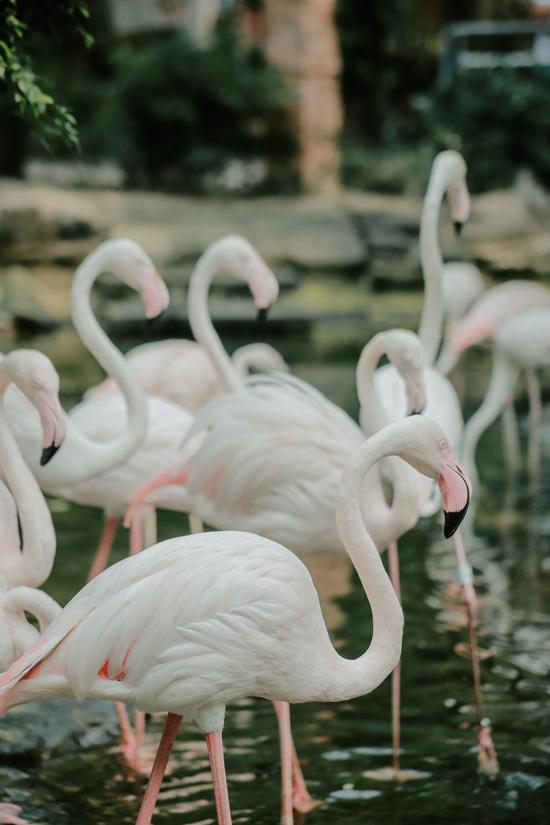 Một trong những điểm check in sống ảo được nhiều bạn trẻ phát hiện ra là vườn hồng hạc và thiên nga. Những chú chim trắng muốt hoặc hồng nhạt thảnh thơi lội nước, tắm mát... mang đến khung cảnh thơ mộng chẳng kém trời Tây.