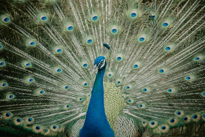 Nếu may mắn, bạn có thể chiêm ngưỡng chú chim công đực xòe cánh bộ rực rỡ để khoe mẽ với những chú chim công cái.