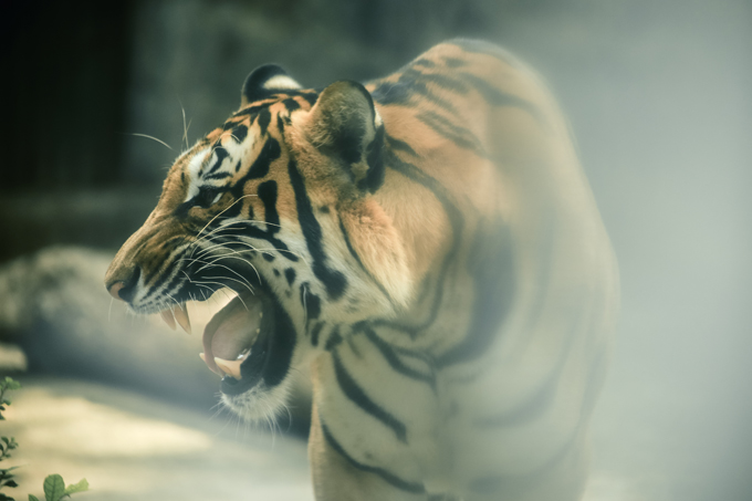 Các em nhỏ thích thú khi lần đầu chiêm ngưỡng sự dũng mãnh của những chú hổ.