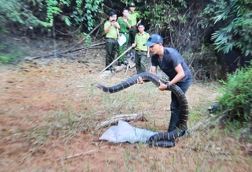 Con rắn được thả vào rừng tự nhiên. Ảnh:Lực lượng kiểm lâm cung cấp