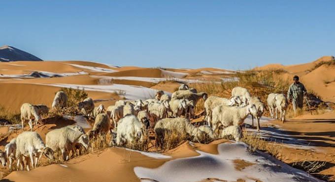 Trong ảnh, đàn cừu đứng trên các đụn tuyết trắng khi nhiệt độ ở đây đột nhiên hạ xuống còn âm 3 độ C.