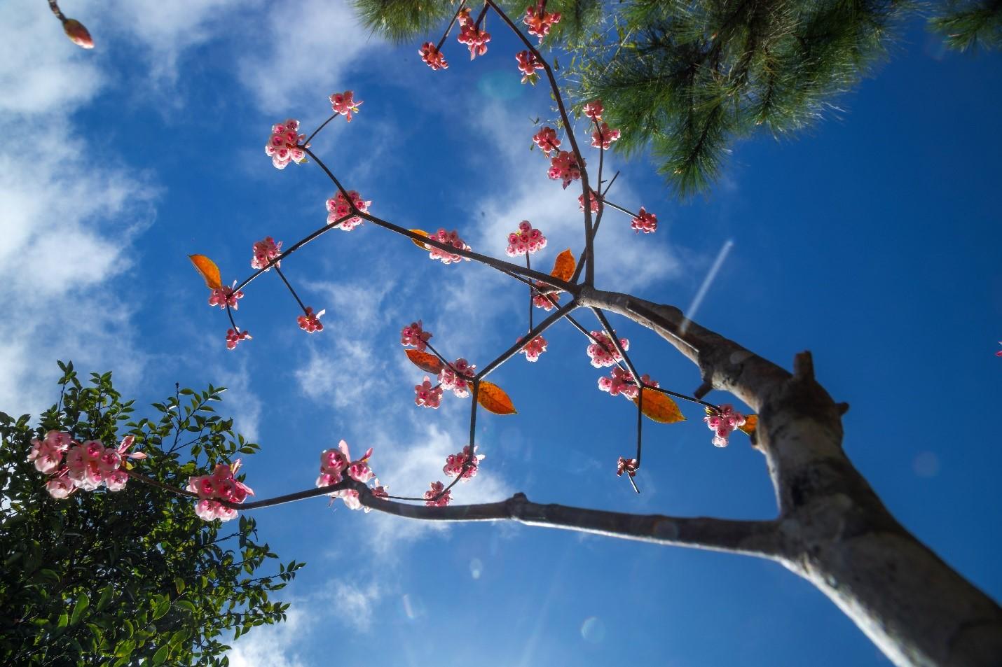 Riêng ở Bà Nà, những người làm du lịch nơi đây đã kỳ công nghiên cứu và nhân giống thành công 500 gốc đào chuông, đưa loài hoa này trở thành biểu tượng của Công viên chủ đề hàng đầu châu Á.