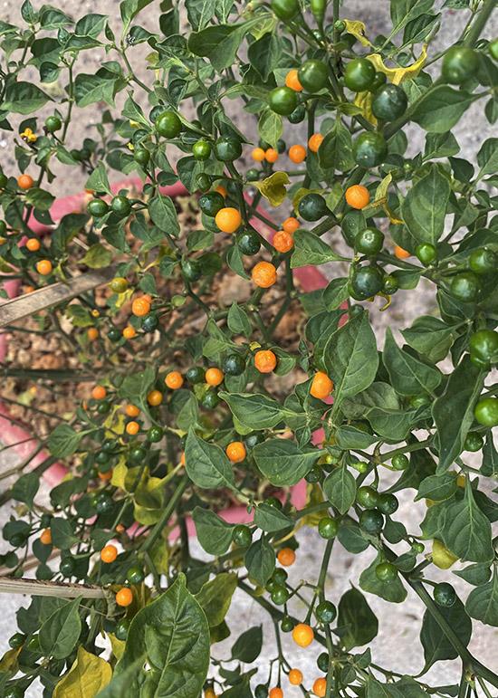 Cây ớt tiền triệu giống Peru Lý Hải vừa được tặng trong dịp Tết Tân Sửu.