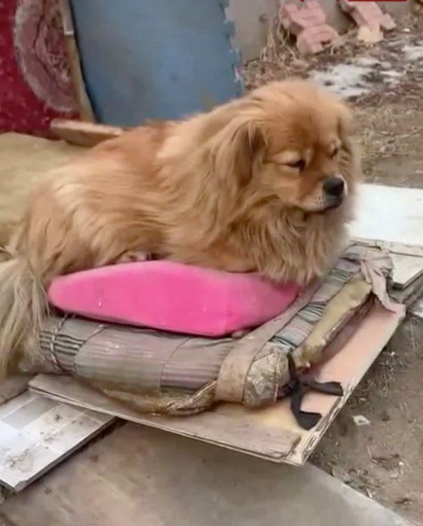 Chú chó Da Huang nằm chờ chủ cũ về.