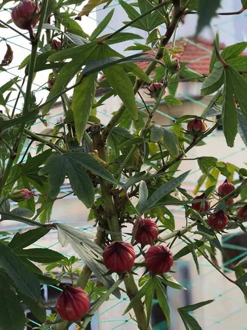 Cây atíso đỏ mà chị Quỳnh Hương trồng. Các quả của cây có thể làm trà hoặc mứt, giúp tăng cường sức khoẻ.