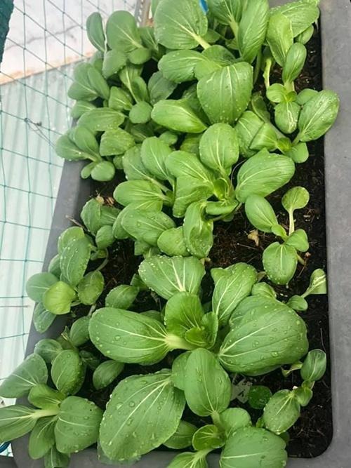 Để giúp cây rau thoát nước tốt, chị Quỳnh Hương sử dụng 50% đất và 50% còn lại là tro, trấu, xơ dừa, giá thể được trộn tơi xốp, tránh ngập úng.
