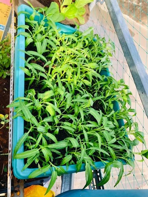 Một thùng nhựa trồng rau muống của chị Quỳnh Hương.