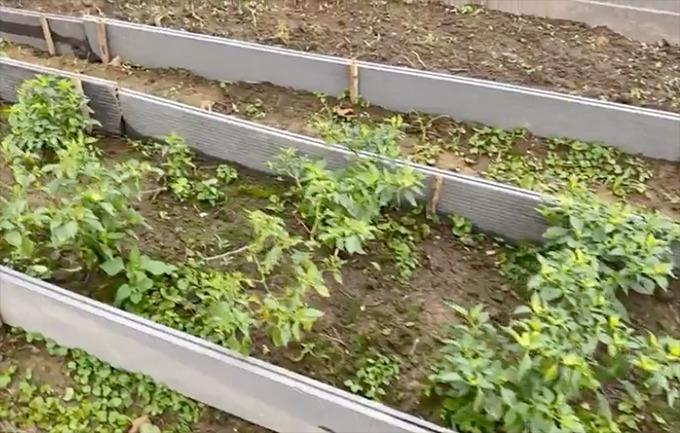 Nam đạo diễn đã trồng được khoảng 14 cây ớt con, đang chờ ra trái. Anh dí dỏm nói nếu mình trồng được thành công chỗ ớt này lên trái thì sau sẽ là đại gia ớt.