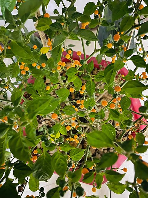 Đến giờ, Trịnh Tú Trung đã chăm sóc cây được khoảng 2 tuần và cây có chiều cao khoảng 1m. Hiện tại, nam diễn viên đã thay đất mới có trộn nhiều chất dinh dưỡng có lợi cho cây và tưới cách ngày với lượng nước vừa đủ. Do trồng tách biệt với các loại cây khác trong vườn nhà nên cây ớt chưa đối mặt với vấn đề sâu bệnh. Khi nếm thử ớt Peru, anh chia sẻ: Ớt có vị hăng, cay hơn ớt thường và dư vị rất sâu dù quả cực nhỏ. Với số ớt chín không kịp ăn, anh đem biếu bạn bè, người thân, còn những trái già đem nhân giống thử với hy vọng có cây mới để lại mang đi làm quà tặng cho mọi người.