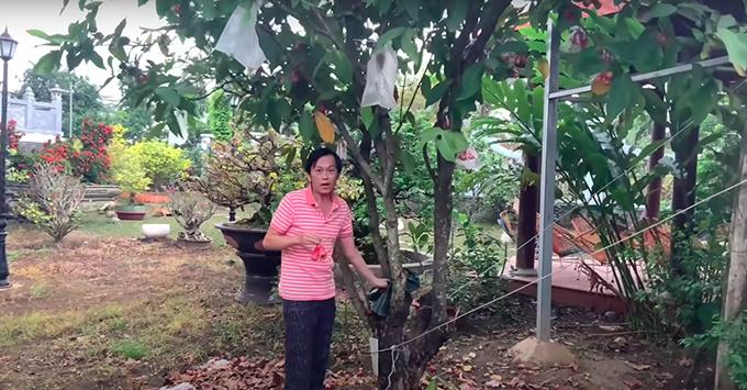 Trong vườn có trồng cả cây ăn trái là mận (roi). Các trái được bọc trong túi để tránh bị sâu bọ, côn trùng cắn trước khi thu hoạch.