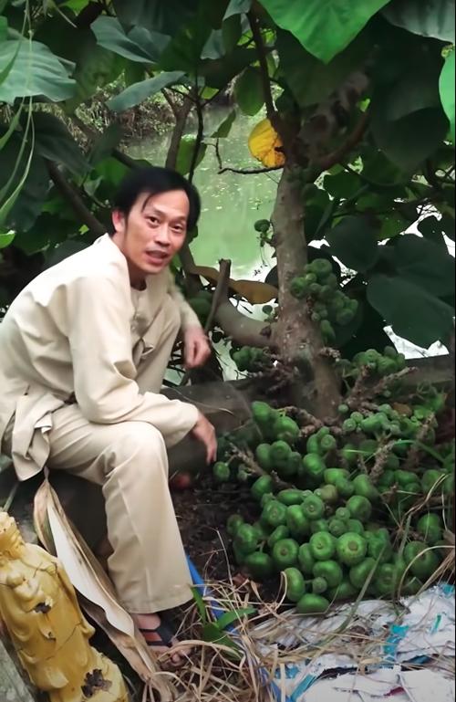 Cây vả trong vườn, cạnh ao của khuôn viên nhà thờ Tổ sum suê trái. Nam danh hài nhìn thấy các trái vả lớn và nghĩ ngay tới món vả chấm mắm ruốc.