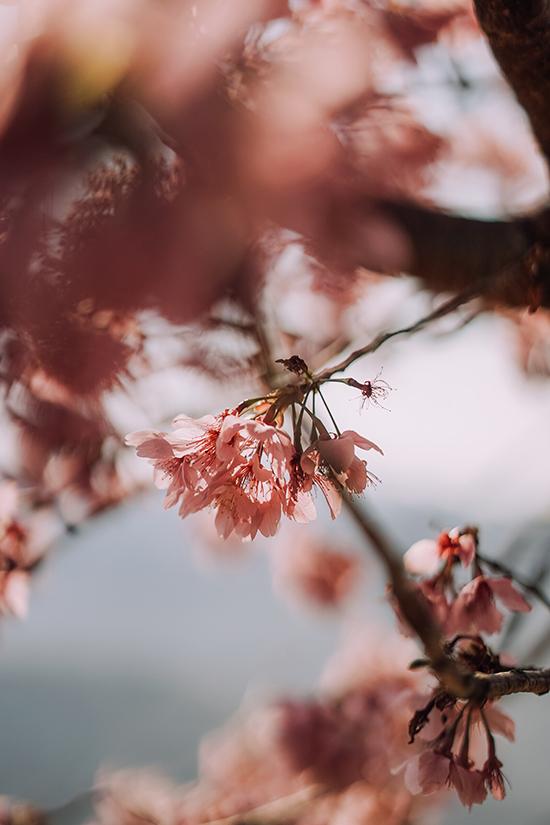 Hoa anh đào Đài Loan - 16
