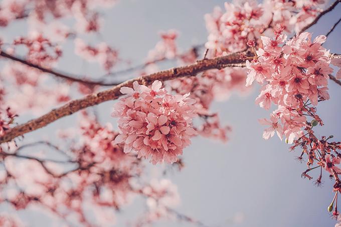 Hoa anh đào Đài Loan - 12