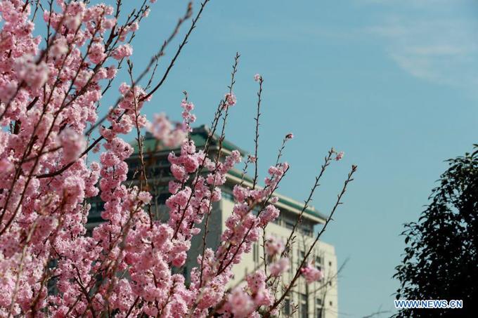 Đại học Vũ Hán - một trong những ngôi trường đại học lâu đời và danh giá nhất Trung Quốc - là điểm ngắm hoa anh đào nổi tiếng thứ 2 chỉ sau Hồ Đông. Tuy là cơ sở giáo dục nhưng ban giám hiệu nhà trường luôn mở cửa cho khách tham quan vào mỗi dịp xuân về.