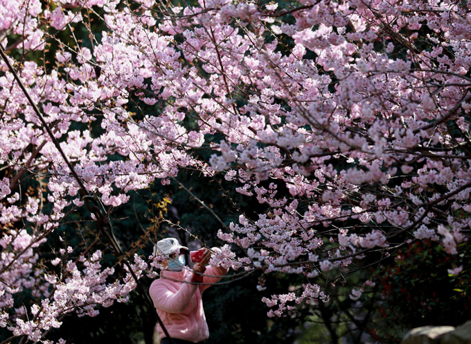 Năm ngoái, do tình hình dịch bệnh, sinh viên không đi học nên cảnh sắc mùa xuân ở đại học Vũ Hán trở nên tiêu điều hơn. Năm nay, người dân và sinh viên có thể thoải mái ngắm hoa nhưng vẫn phải đảm bảo các yêu cầu về phòng dịch.