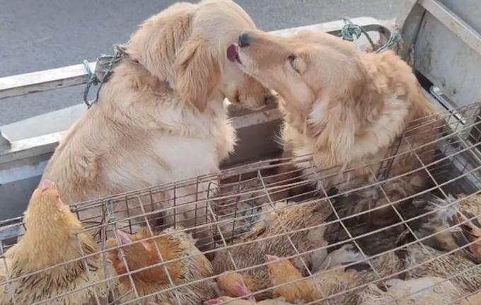 Hai con Golden Retriev (chó săn lông vàng) khóc khi sặp bị bán đi. Ảnh cắt từ video.