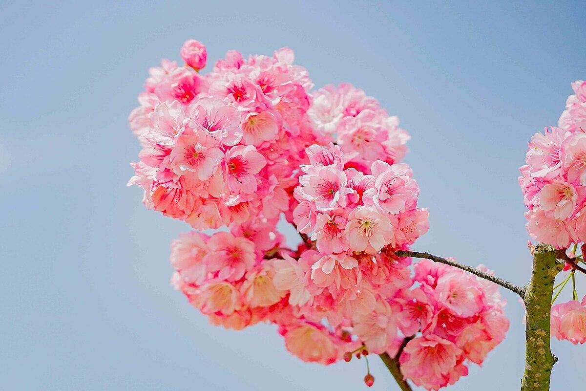 Đặc biệt hàng trăm gốc anh đào Nhật Bản và anh đào Himalaya được ươm trồng kỳ công tại Sun World Fansipan Legend suốt 3 năm qua, giờ đây bắt đầu rộ hoa, trĩu bông, đẹp mãn nhãn. Tôi rất bất ngờ khi thấy hoa anh đào nở nhiều và đẹp như thế tại Fansipan. Chụp ảnh post facebook nhiều người còn không tin là hoa nở tự nhiên ở Việt Nam. Gia đình tôi thật sự đã có một chuyến du xuân rất may mắn – anh Nguyễn Hiếu Phong, du khách đến từ Hà Nội hào hứng.