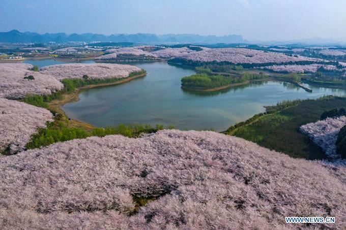 Mùa hoa anh đào ở Quý Châu thường bắt đầu vào tuần đầu tiên của tháng 3 hàng năm.