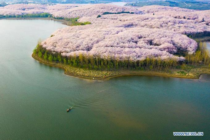700.000 gốc hoa đào được trồng san sát trên những hòn đảo nhân tạo, bao xung quanh là hàng rào cây xanh. Ngoài hoa đào, khu vực này còn trồng thêm cả hoa cải vàng, đều ra hoa vào vào dịp tháng 2-3.