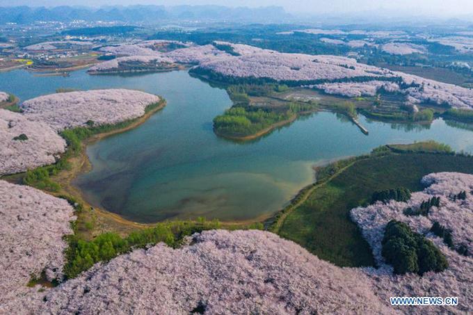 Nông trại rộng 1.600 hecta với phần lớn diện tích trồng hoa anh đào. Năm nào vào mùa hoa nở, cảnh đẹp nơi đây cũng trở thành hiện tượng trên mạng xã hội Trung Quốc. Năm nay, những video được đăng tải thu về hàng triệu lượt yêu thích.