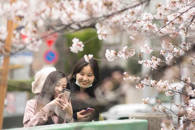 Lễ hội hoa anh đào là một phần văn hóa Nhật Bản.
