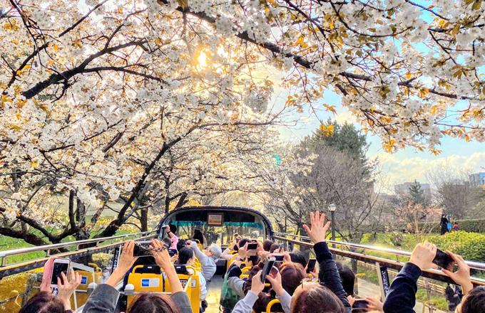 Tour đi xe bus mui trần ngắm hoa anh đào ở Nhật