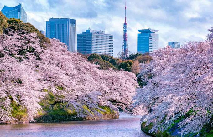 Hoa anh đào nở rực rỡ khắp Tokyo. Ảnh: Rakuten Travel
