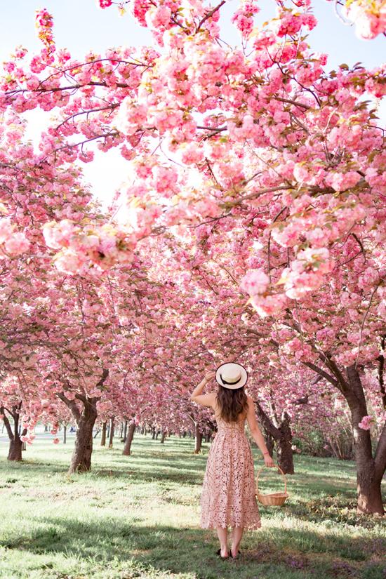 Hoa anh đào ở Mỹ nở rộ đầu tháng 4. Ảnh: Pinterest