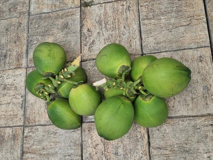 Đầu hè năm nay, Việt Trinh bội thu dâu da đất, dừa trĩu nặng tay trong vườn nhà. Do vườn diện tích lớn nên Việt Trinh cũng thuê thêm người giúp chăm sóc, trông coi.