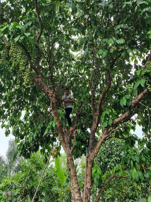Cây dâu da đất đang dịp sai trái trong vườn của Việt Trinh.