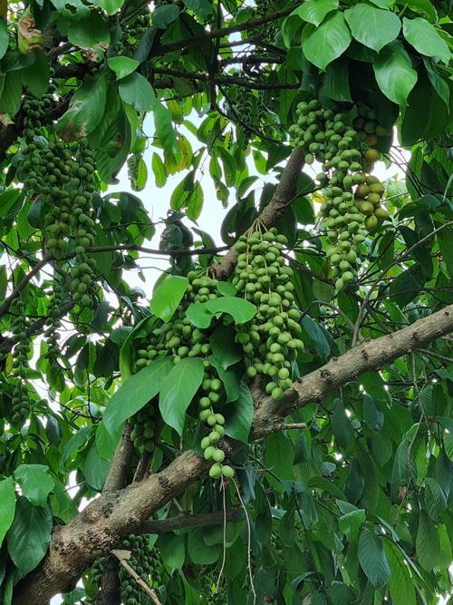Với số lượng lớn cây trái đang vào mùa thu hoạch, Việt Trinh dự định sẽ thu hoạch dần theo đợt và đem cho những người cô trân quý, bạn bè thân thiết.