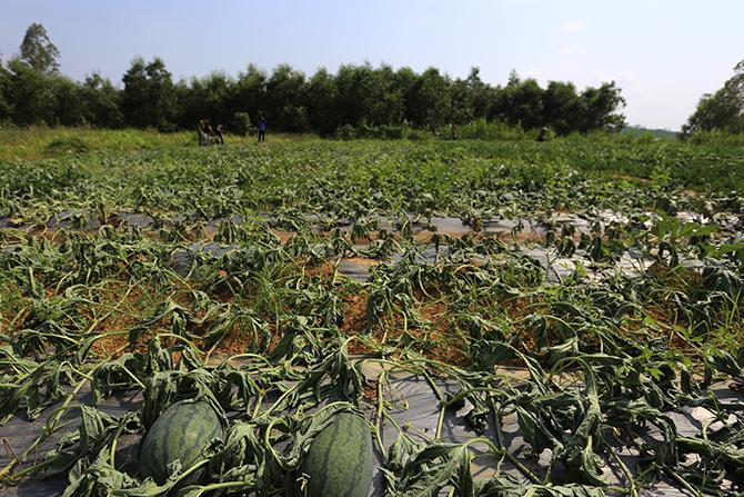 Ruộng dưa của ông Bình đang khô héo. Ảnh: Sơn Thủy.