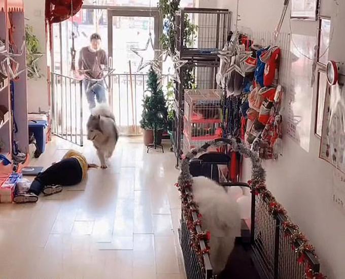 Con chó Alaska dẫn chủ vào cứu nhân viên bị ngất xỉu trong cửa hàng thú cưng ở thành phố Cáp Nhĩ  Tân, Trung Quốc, hôm 18/4. Ảnh cắt từ video.