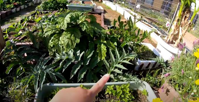 Cô trồng 4 cây atiso. Loại cây này có thể dùng làm trà uống hoặc mứt.